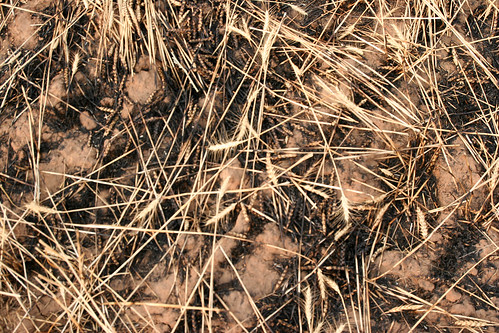 Burnt wheat on Luthi's field.