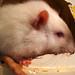 Ratzi's close up
