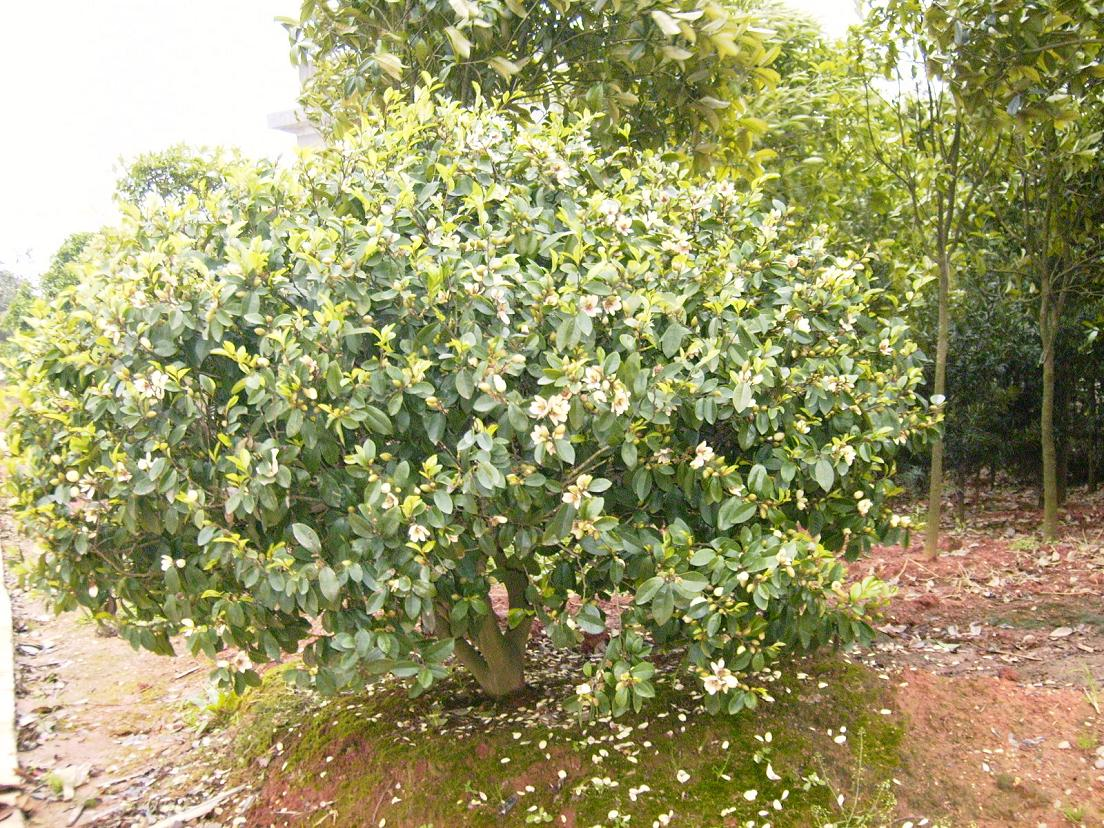 michelia shrub