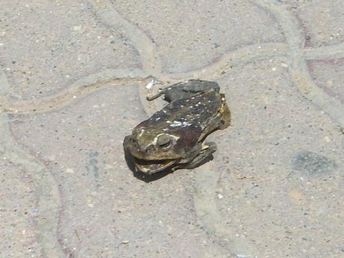 Frying frog