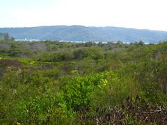 View from base of Barrenjoey IMG_7065 (MargaretDonald) Tags: nsw fabaceae sanddune palmbeach acacia regeneration barrenjoey teatree mimosaceae kuringaichase mimosoideae boneseed waratahtrack