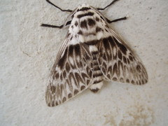 Moth at Boa Vista II