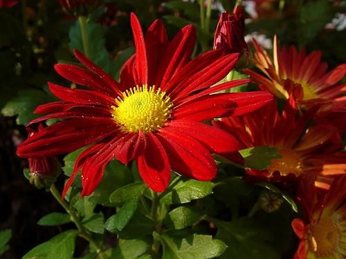 Red Garden Mum