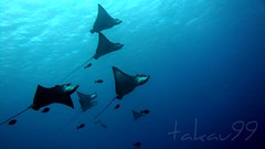 School of Spotted Eagle Ray, Saipan
