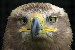 Steppe Eagle (Mir) (Leo Reynolds) Tags: bird animal fauna canon is eagle powershot s3 cameratest f35 72mm canons3 scoutleol30 0005sec 1ev hpexif leol30random groupallanimals grouputata scoutleol30set xepx xexflx xscoutx xexplorex xxblurbbookxx xxblurbbookcoffeetablexx xleol30x xxplorstatsx xxx2007xxx xratio3x2x