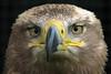 Steppe Eagle (Mir) (Leo Reynolds) Tags: bird animal fauna eagle canons3 scoutleol30 leol30random scoutleol30set cameratest canon powershot s3 is 0005sec f35 72mm 1ev xepx grouputata xexflx xexplorex xscoutx xxblurbbookxx xxblurbbookcoffeetablexx groupallanimals xleol30x xxplorstatsx hpexif xratio3x2x xx2007xx