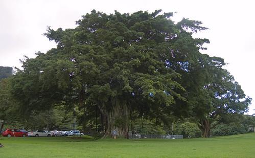 Bambucha Banyon