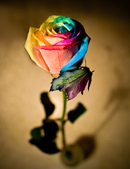 What's in a name? (Lidia Camacho) Tags: shadow flower color dutch rose leaf rainbow colorful flor rosa multicoloured single multicolor happyflowers rainbowrose petervandewerken copyrightedallrightsreserved