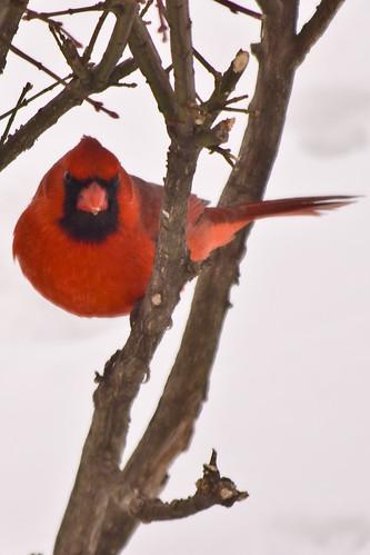 One bad ass cardinal!