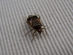 Snuitkeverwants (michiel_konst) Tags: animals insect insects dieren insecten