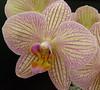 orchid (chippewabear) Tags: flowers orchid macro floral closeup fauna blossoms buds picturesque naturesfinest blueribbonwinner flowerscolors floweroftheday