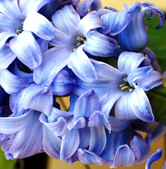 hyacinth blossom (kuzdra) Tags: flowers france flower garden blossom february hyacinth lant      abigfave