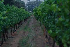 Vineyard of Joy (gandalfirl) Tags: southafrica feb2008