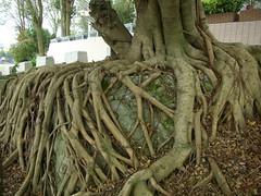 榕樹的纏勒作用