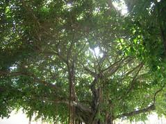 Banyan Tree (power and light press) Tags: stpetersburg florida banyantree