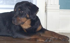 Sassy (muslovedogs) Tags: dogs sassy rottweiler sage zeusoffspring