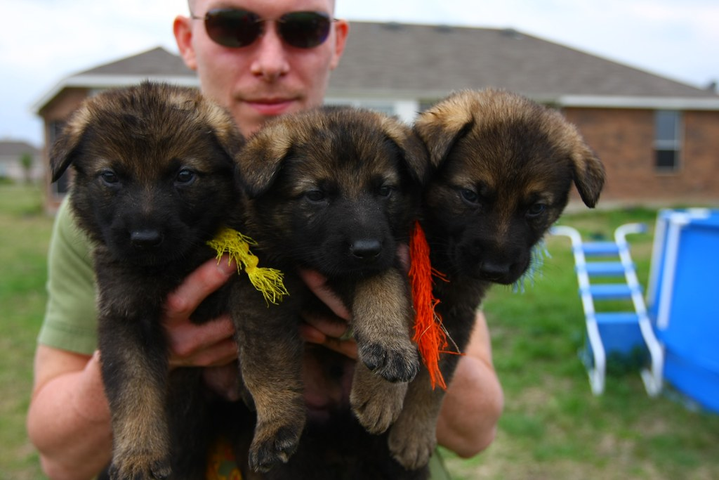 cheap german shepherd puppies long haired german shepherd puppies for sale long haired 6815