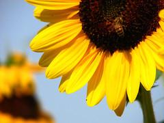 Il Giallo (Stranju) Tags: primavera yellow spring natura giallo ape sole girasole giardino naturalmente apemaia apina repertorio apetta apemaja csaia unpodisananostalgia