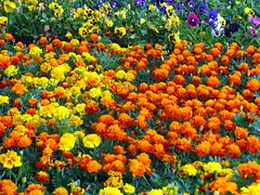 Marigolds and Pansies