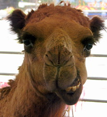 100 Things to see at the fair #16: Petting Zoo Camel
