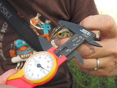 Grasshopper Sparrow (Ammodramus savannarum) field measuring (boylelab) Tags: grasshoppersparrow calipers measurement fieldwork ammodramussavannarum