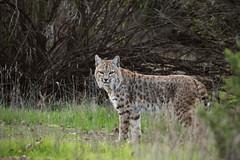 Bobcat tom (Jared Hughey) Tags: wild animal wildlife nature bobcat urban carnivore mammal santamonicamountainsnationalrecreationarea losangelescounty southern california agourahills