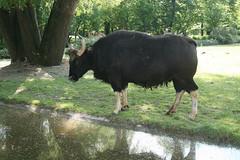 Gaur-Bulle