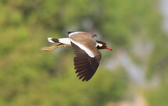 The Red-wattled Lapwing (TARIQ HAMEED SULEMANI) Tags: summer nature birds wheat harvest tariq redwattledlapwing khanewal concordians sulemani jahanian thewonderfulworldofbirds