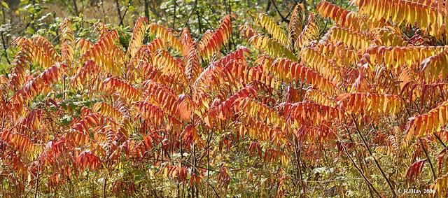 Autumn Colours (Staghorn Sumac)