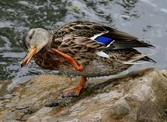 Happy Duck (she who is) Tags: park calgary fall water duck alberta waterfowl soe mywinners