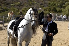 andalusian-horse-alborozo011 (kilimanjaroranch) Tags: horse pre stallion andalusian spanishhorse alborozo
