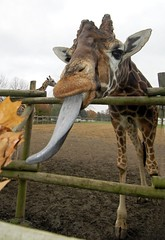 Feeding Giraffes In NJ (Bob Jagendorf) Tags: animal tongue zoo newjersey nj giraffes mywinners jagendorf