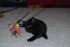 Minerva 16.JPG (IlkkaL) Tags: minerva koti eläimet kissat