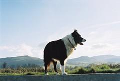 Indy, Lord of all he surveys! (Mike & Indy) Tags: cats dogs collie border indy winner blueribbonwinner llanfairfechan hairtastic my ysplix ysplik