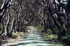 tree-lined-road.jpg (cskk) Tags: road trees vanishingpoint blackheath tl practica australia super bluemountains nsw supertl saveearth practicasupertl