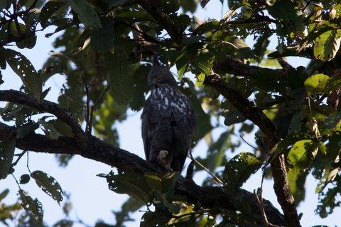 crested hawk eagle resting