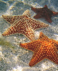 starfish (larryprobst) Tags: fish beach angel orchids starfish stjohn queen hibiscus anemone squid larry octopus lobster caribbean usvi probst