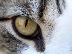 Close-up (Silent Orchestra) Tags: cats eye animal animals closeup cat kitten cateye silentorchestra laughlovehope