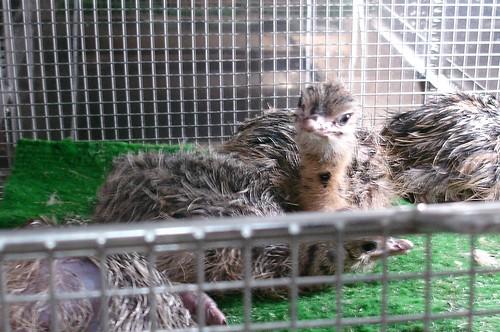 babyostrich1_crop