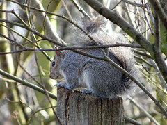 Squirrel in Russia Dock Woodland
