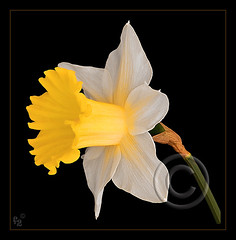Daffodil (F-2) Tags: flowers light white flower yellow digital canon garden studio early spring flash tripod grow tent adobe february bec dslr soe lighttent daffodils 580ex strobe manfrotto excellence onblack cs3 naturesfinest 333views blueribbonwinner dafs firstquality canoneos5d eos5d lifeasiseeit supershot 100faves flowerscolors flowerotica fineartphotos abigfave anawesomeshot impressedbeauty ultimateshot photoshopcs3 flickrenvy bratanesque citrit ysplix amazingamateur theunforgettablepictures 75faves eliteimages naturewatcher platinumheartaward artlegacy theperfectphotographer goldstaraward adobecameraraw431 055cb professionaltripod