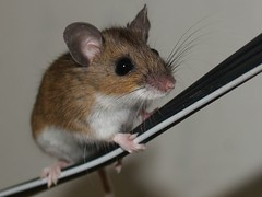 Mouse on a Wire (JCalabi) Tags: its animals mouse earth incredible supershot abigfave diamondclassphotographer flickrdiamond earthanditsincredibleanimals