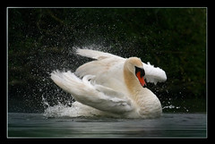 Happy birthday, hubby! (hvhe1) Tags: holland bird nature animal swan bravo searchthebest wildlife waterfowl biesbosch firstquality specanimal animalkingdomelite hvhe1 hennievanheerden flickrplatinum avianexcellence