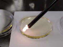 Microbiology/chemistry (gwhiteway) Tags: media dish tubes plate science fungi medical flame research bacteria liquid microbiology petri microorganism agar foodsafety foodtechnology