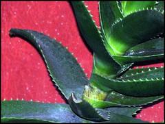 Estratto di pianta (•:• panti •:•) Tags: verde spine rosso pianta grassa