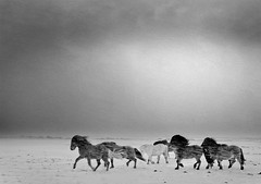 Horses (oskarpall) Tags: winter horses snow storm cold nature weather animals canon eos iceland frost freezing oskar 10d blizzard sland nttra snjr vetur pll skar dr 2470 hestar kuldi veur artlibre diamondclassphotographer flickrdiamond veur elfarsson