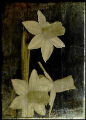 Daffodils (Kirsten M Lentoft) Tags: flower daffodils textured narcissus firstquality dontworktoohard mywinners artlibre momse2600 betterthangood goodmorningdearesthugs primaqualitàd mmmuuaahhhhhhhhhhh kirstenmlentoft