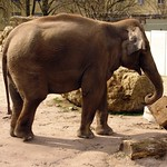 elephas maximus thumbnail