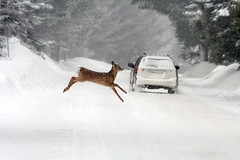 Gone! (Imapix) Tags: winter snow canada art nature animal canon photography photo jump foto photographie escape image quebec explosion gone deer qubec agility onwhite duhamel chevreuil imapix lacsimon gaetanbourque abigfave 100commentgroup imapixphotography gatanbourquephotography