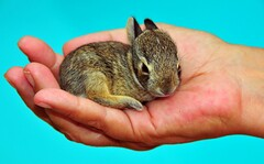 A Wild Baby Rabbit (Jeff Clow) Tags: rabbit bunny nature ecology bravo natural conservation security tiny environment pure fragile balanced sustainability handful purity frail babyrabbit cradled wildrabbit diamondclassphotographer jeffrclow